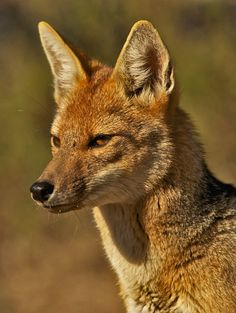 Culpeo (Lycalopex culpaeus) or Andean fox is a South American species of wild dog. It is the second largest native canid on the continent, after the Maned Wolf.