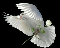 White dove and a white rose - perfect..