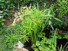 Cultiver le papyrus en pot