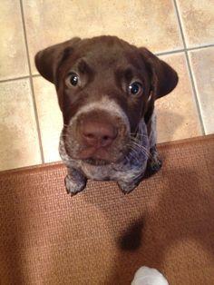 "German Shorthaired Pointer Puppy, Oliver, ""Nose"" best..."