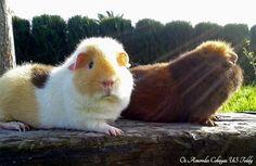 Amber & Vinotan - #Cobayas tricolor #USTeddy (Teddy #guineapigs) https://www.facebook.com/pages/Os-Amorodos-Cobayas-US-Teddy/621079757969900 (#Teddy #guineapig #guinea #pig #cavy #cavies #cobaya)