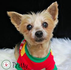 Pretty, the Silky Terrier. One of our Forever Care doggies. Silky Terrier, Christmas 2017, Pet Adoption, Doggies, Pets, Illustration, Animals, Little Puppies, Animales