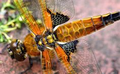 dragonfly picture desktop nexus wallpaper (Reed Smith 1920x1200)