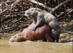 Capybara style.