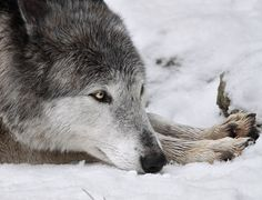 """beautiful-wildlife: """" American Wolf by photo-sommer """""""