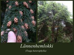 Lännenhemlokki - puulajipuisto
