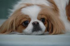 Japanese Chin (White and Sable)