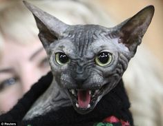 Is this the world's scariest cat? Sphynx monster looks more like a gremlin than a pussycat