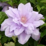 CLEMATIS COUNTESS OF LOVELACE 100mm