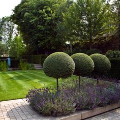 clipped topiary lollipops in lavender - Landform Consultants - Richmond