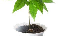 Avocados : Anzucht,Pflege und mehr  Avocadotree Avocadobaum Avocadopflanze