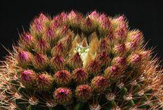 Echinopsis spiniflora (K.Schumann) A.Berger 1929 incl. Echinopsis violacea Werdermann 1931 (forma P 204 Taninga, Pocho, Córdoba, Argentina, 1550 m / 5085 ft) min.temp.<-20°C / <-4°F, full sun, pink flower, neutral soil