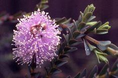 Melaleuca decussata • Australian Native Plants Nursery • Plants • 800.701.6517