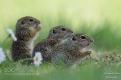 Ground squirrels by Roland-F #animals #animal #pet #pets #animales #animallovers #photooftheday #amazing #picoftheday
