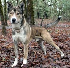 Kuna is an adoptable Akita Dog in Grants Pass, OR. This is one fun and ...