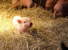 19 Incredibly Cute Photos of Mini Pig