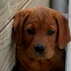 Fox Red Labrador..Absolutely gorgeous!!!