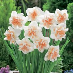 Great Totally Free double Daffodils Concepts In this post, we have bundled almost all there is to know concerning Daffodils (Narcissus); Spring Flowering Bulbs, Spring Bulbs, Spring Blooms, Spring Flowers, Daffodil Bulbs, Bulb Flowers, Daffodils, Colorful Flowers, Beautiful Flowers