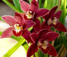 Boat Orchids Cymbidium
