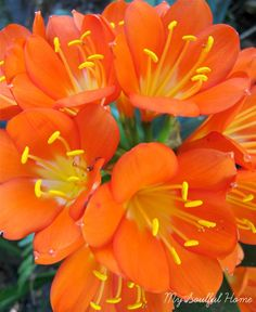 Clivia - a wonderful burst of color for the shade - www.mysoulfulhome.com