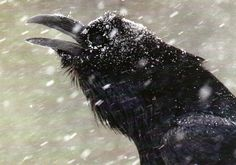 Raven in the snow