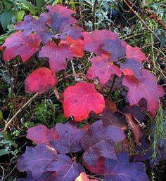 Oak Leaf Hydrangea - fall color