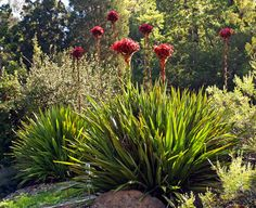 """Doryanthes excelsa """"Gymea Lily"""" planted in a row along your front Western garden bed"""
