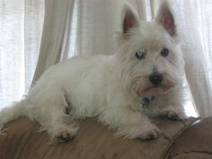 Westie! life is always better on the back of the couch!!