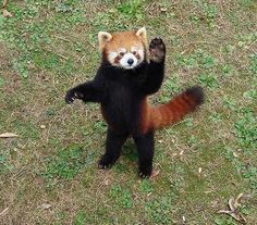From the first moment I set eyes on a red panda, I was in love. Super Cute Animals, Cute Funny Animals, Cute Baby Animals, Animals And Pets, Cute Dogs, Red Panda Cute, Panda Love, Panda Bear, Hamsters As Pets