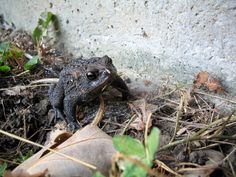 This cute toad is wonderful for your garden!