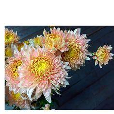 Heirloom mums Fall Arrangements, Annie, Planting Flowers, Frost, November, Herbs, Weddings, Instagram Posts, Plants