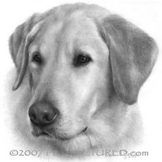 Sam, Yellow Labrador Retriever - graphite portrait drawing