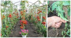 Cesnak je pre rajčiny hotovým zázrakom: Stačí poznať túto radu a už nikdy sa nebudete báť o svoju úrodu! Garden, Plants, Compost, Garten, Lawn And Garden, Gardens, Plant, Gardening, Outdoor