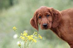 Irish Setter puppy dog. Photograph Boony by Petr Hricko on 500px