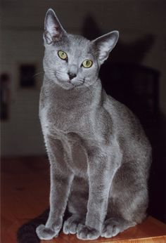 Russian Blue is on the list of approved breeds for my next cat.