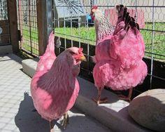 Autoridades apreendem duas 'galinhas rosas' em parque nos EUA Aves estavam soltas em parque da cidade de Portland. Dono disse que usou corante alimentar e suco de beterraba.