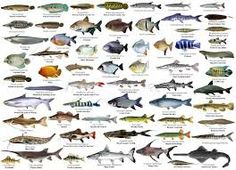 Bass - Robalo   Mullet - Tainha   Carp - Carpa   Bluefish - Anchova   Tuna - Atum   Cod Fish- Bacalhau   Trout - Truta   Sole/ Flounder -...