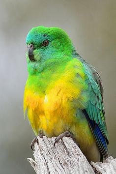Red-rumped Parrot: Male. | Flickr - Photo Sharing!
