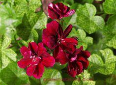 geranium roller's pioneer