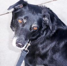 Petango.com – Meet Lady, a 9 years 1 month Retriever, Labrador / Collie, Smooth available for adoption in LA GRANDE, OR