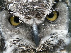 Snowy Owl? No it's Hudson the Great Horned Owl, covered in snow!  scotowlblog, Scottish Owl Centre (Trystan Williams)