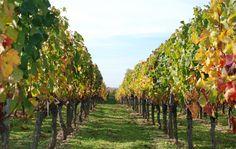 Viñedos en otoño/wine