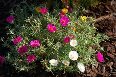 How to Grow and Care for Moss Rose (Portulaca)