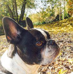 Sei speciale . . . . . . . . #frenchbulldog #french #frenchiebulldog #frenchiestagram #frenchiebulldog #frenchieoftheday #frenchy #frenchiegram #bullystyle #bullylove #bully #bullydog #bullyworld