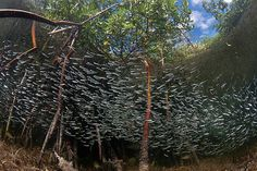 FISH AMONG RED MANGROVES >>>> Matt Potenski of New Jersey took home second place in the wide angle category for his photo of a school of fish swimming in their home of red mangroves (Rhizophora mangle) in South Bimini, Bahamas. Fishing Photography, Underwater Photography, Macro Photography, Coral Reef Ecosystem, Underwater Pictures, Mangrove Forest, Beneath The Sea, Red Pictures, Animal Science