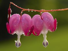 Dew-Covered Bleeding Hearts - hqworld.net - high quality sport and ...