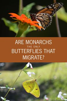 Are Monarchs the only Butterflies that Migrate? --- Most of us know the migration of the monarch butterfly, but did you know there are other butterflies that migrate each fall and spring?  via @gardenexperimnt