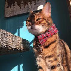 Rocking the new bow! #christmas  #holidays #tartan #scottish #decorating #festive #prettykitty #ladybrennaoffairfax #cat #cats #catsofinstagram #catsagram #catsofworld #kitty #katzenworldblog #cats_of_instagram #catlover #bengal #bengalcat #bengalsofinstagram #bengal_cats #faithhopeloveandlucksurvivedespiteawhiskeredaccomplice #vais4bloggers #vafoodie #foodblog #foodblogger #virginia