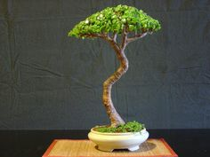 "GALLERY PORTULACARIA AFRA The first one  that is in training for about 20 years, and owned by the current vice-president (2010) of the ""T..."