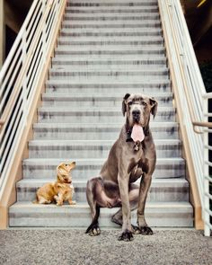 A Great Dane and his Friend